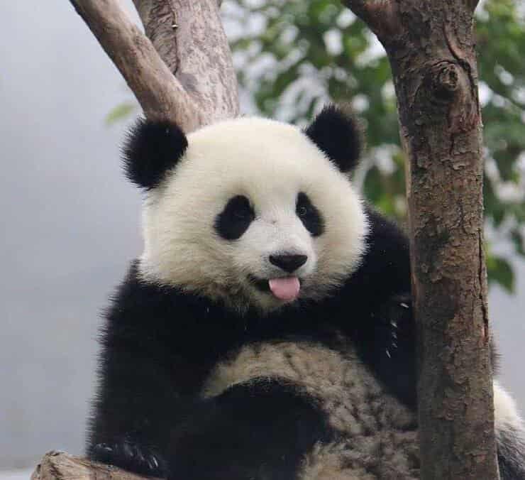 Panda su un albero (Screen Instagram)