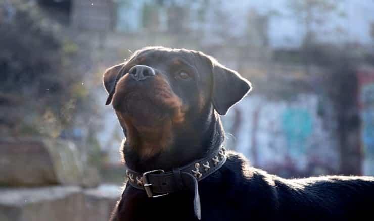Rottweiler (Pixabay)