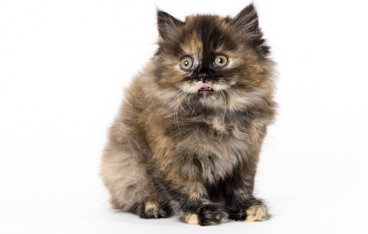 cucciolo di Scottish Straight Longhair