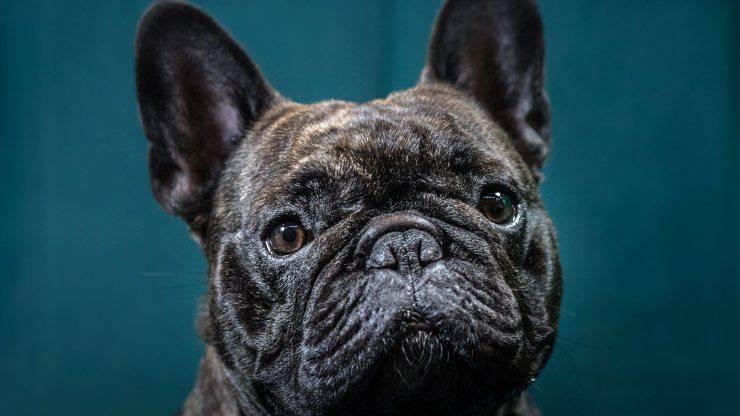Bulldog Francese Rapinato Ritrovato
