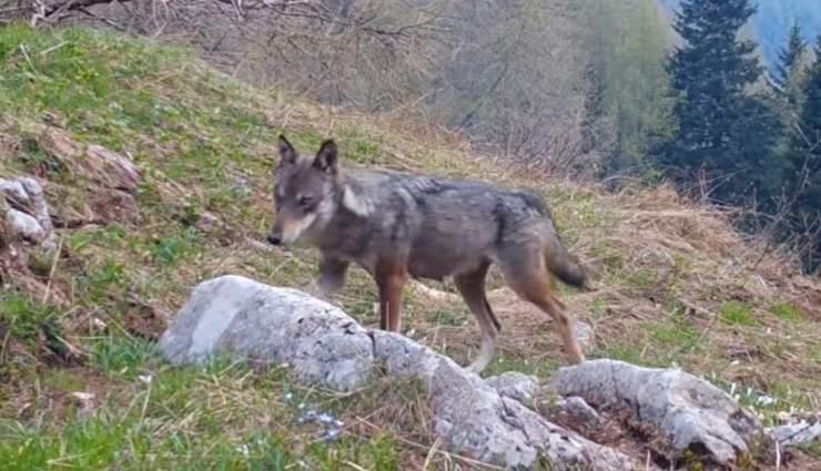 Orso Lupi Fototrappola Video Trentino