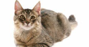 adottare pixiebob longhair