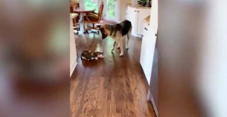 Anya il pastore tedesco e Munchie una gattina tigrata (Screen Video)