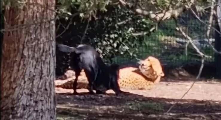 Il cane entra nel recinto del ghepardo (Screen Video)