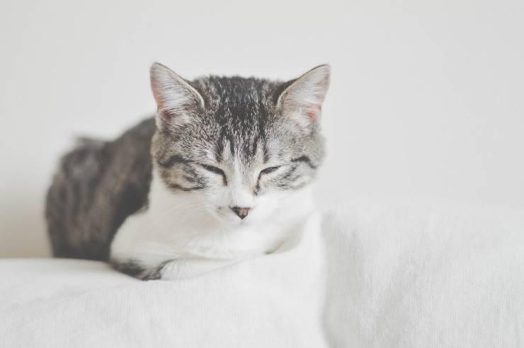 Sindrome paraneoplastica nel gatto