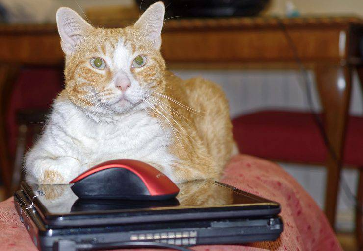 Gatto riposa sulla tastiera del PC