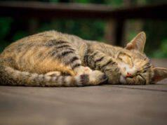 condrosarcoma gatto