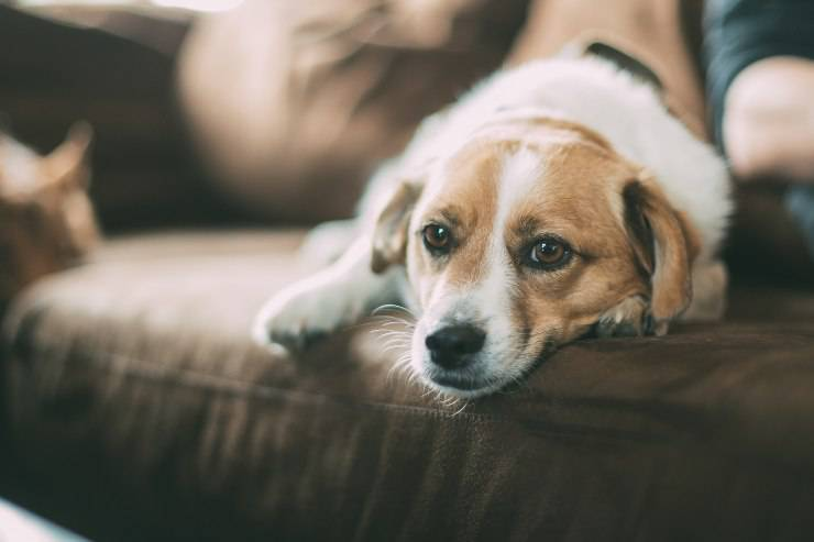 Tonsillite nel cane