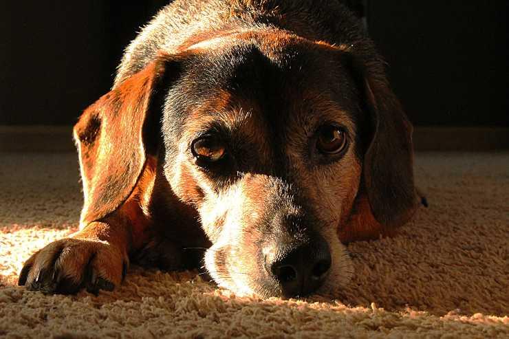 Quanto vive il cane epilettico