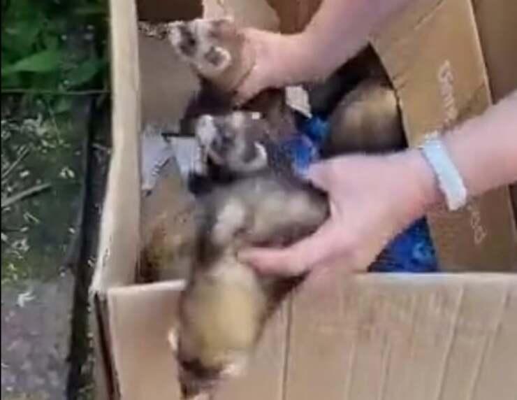 il video esilarate della donna che cerca di trasportare i furetti in uno scatolone (Screen Video)