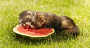 furetto può mangiare anguria