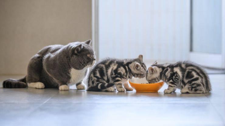 gatti possono condividere la ciotola