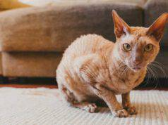 gatto peterbald
