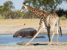 giraffa e ippopotamo