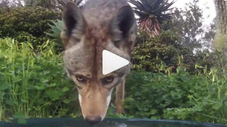 Coyote si disseta (Foto video)