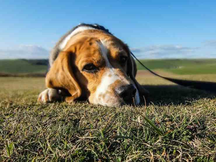 L'epilessia nel cane