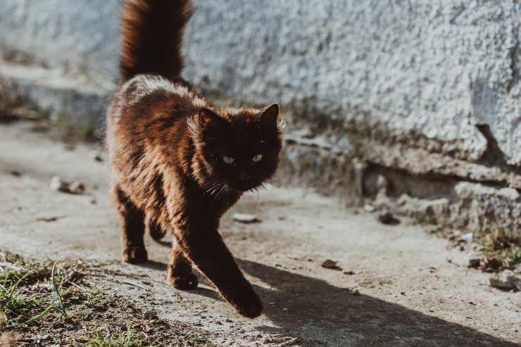 Il felino cammina male