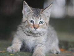 pixiebob longhair malattie comuni