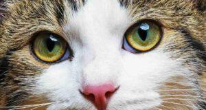 sequestro corneale gatto