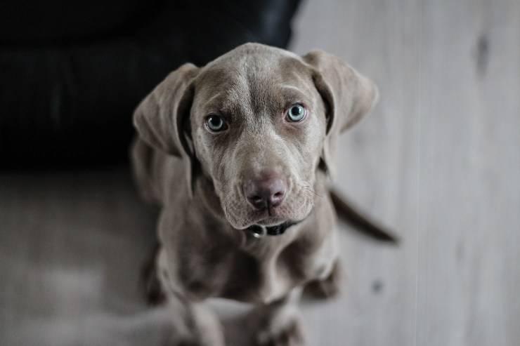 Revertor per cani
