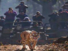 Fotografi immortalano scatto tigre (Screen Instagram)