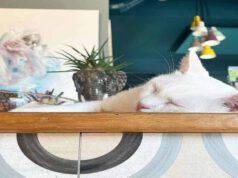 Gattino in un Animal Cafè (Screen Instagram)