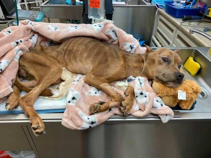 Khaleesi il cane trovato in condizioni di salute pessime lotta per la sua vita dopo il salvataggio (Foto Facebook)