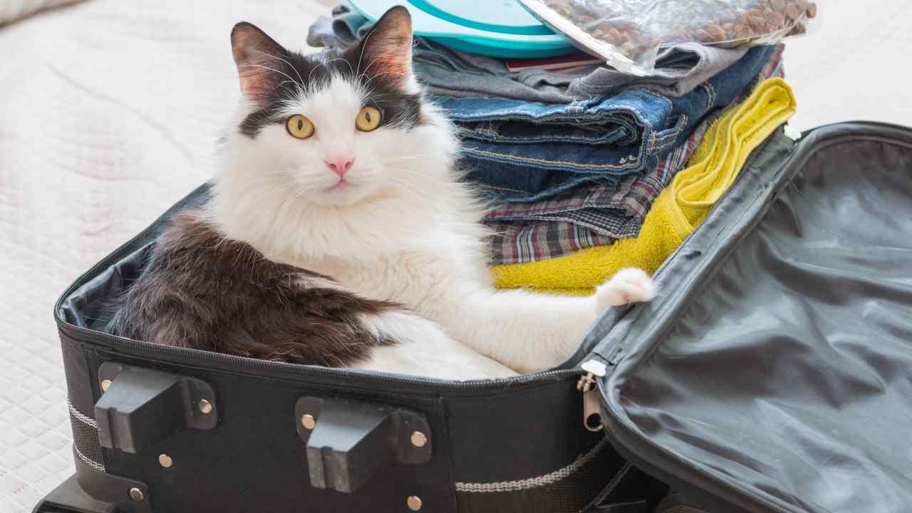 Come portare un gatto all'estero