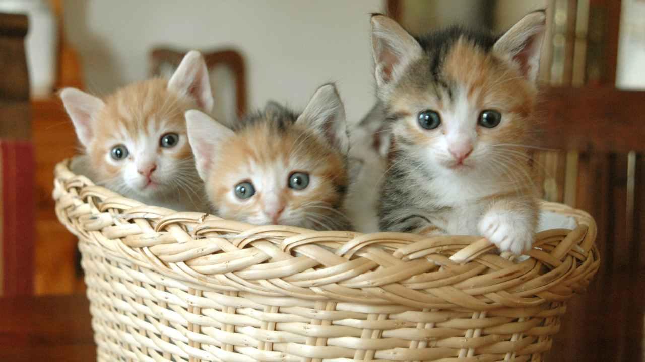 Convivenza tra gatto con FIV e gatto sano