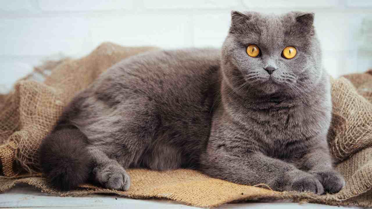 Osteocondrodisplasia nel gatto