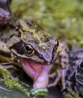 La lingua della rana caratteristiche
