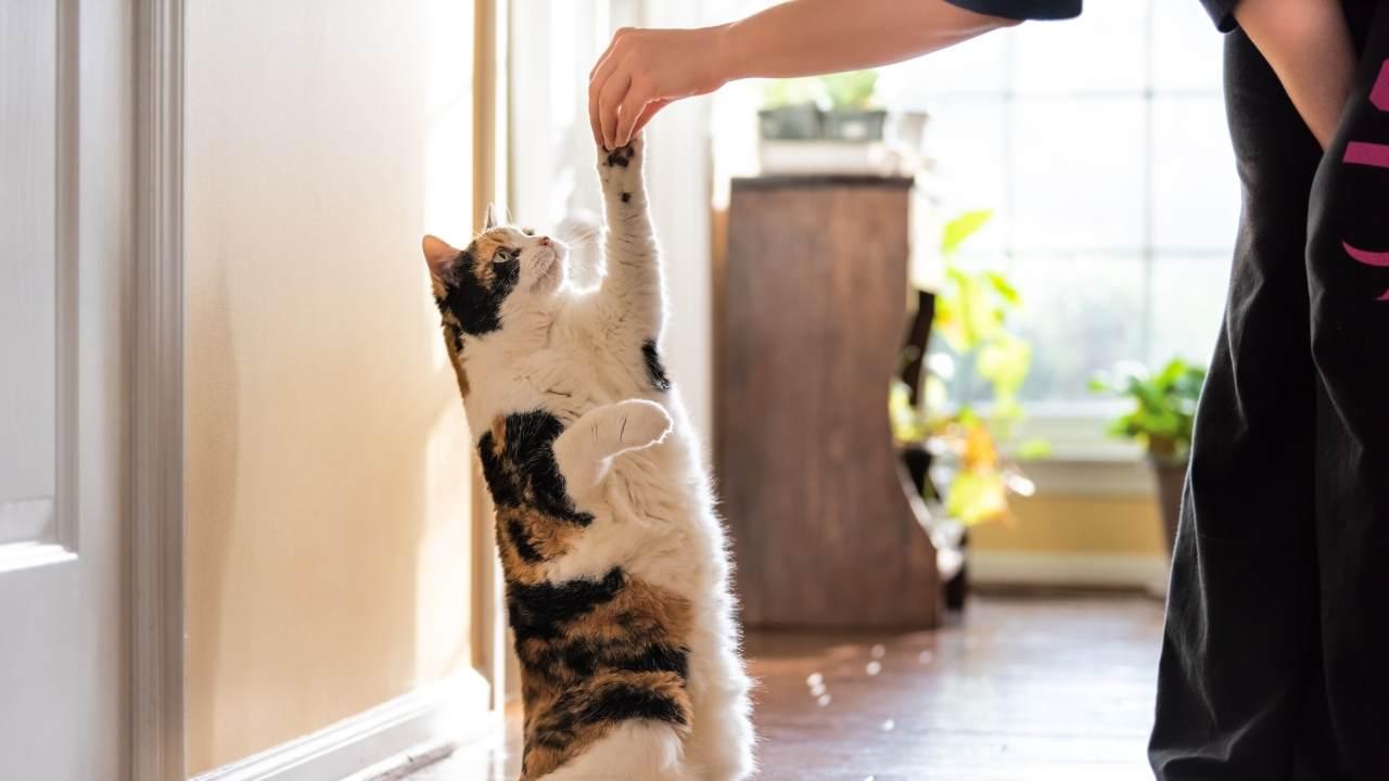 Perché il gatto si alza su due zampe?