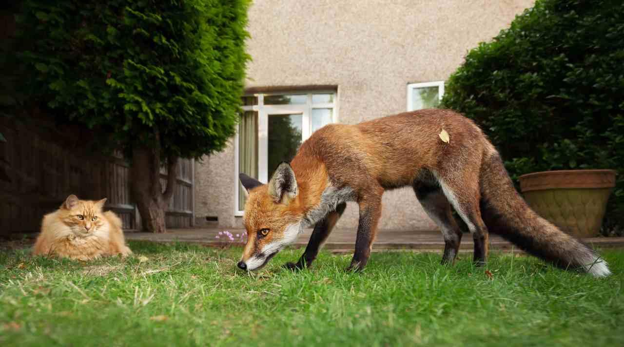 Il gatto preda della volpe