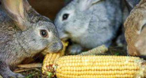 Il coniglio può mangiare il mais?