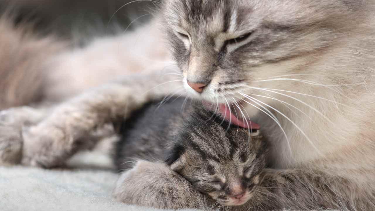 Riflesso di orientamento tattile nel gatto
