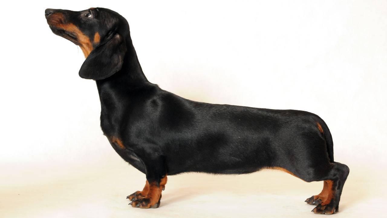 Osteocondrodisplasia nel cane