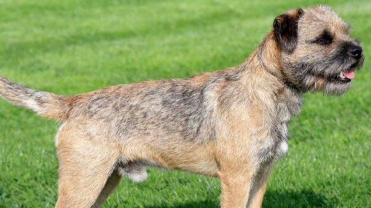 Cura del pelo del Border Terrier