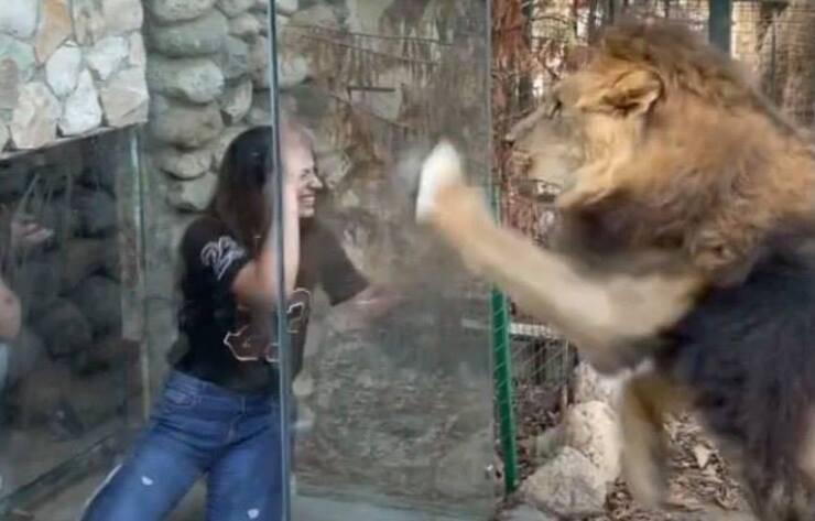 Box trasparente nella gabbia del leone (Screen video Instagram)