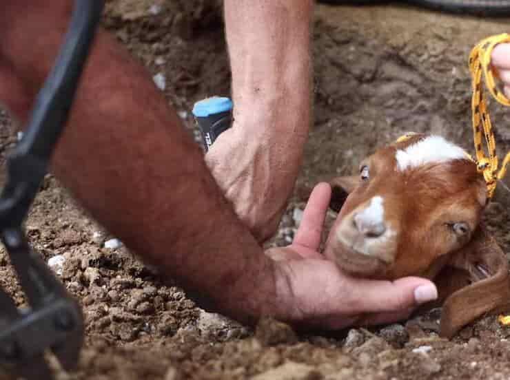 Capra salvata dall'impianto di irrigazione (Screen video)