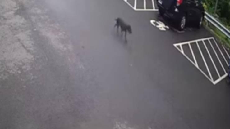 Cane va alla ricerca della padrona (foto video)