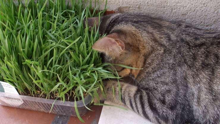 Come si coltiva l'erba gatta in casa