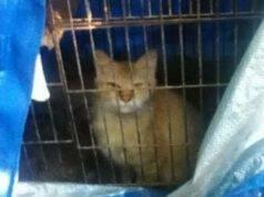 gatto nella gabbia (Foto di dominio pubblico)