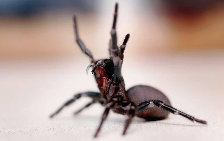 Ragno australiano