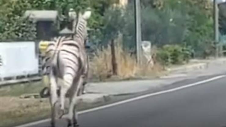 Zebra Achille Fuga Video