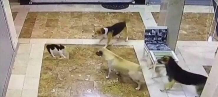 Micino in difficoltà davanti a tre grandi cani (Screen video Youtube)