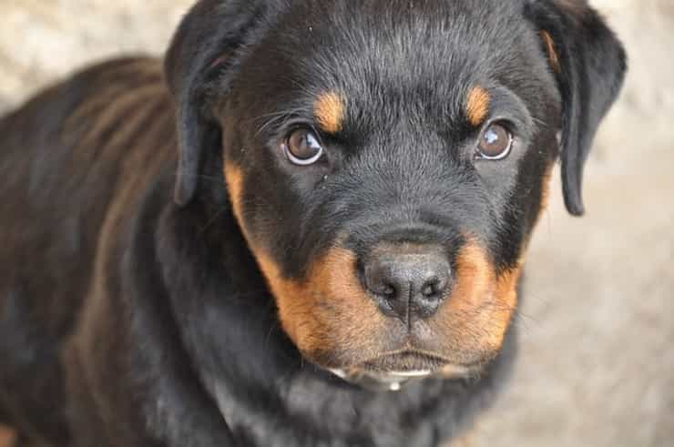 Musetto rottweiler (Pixabay)