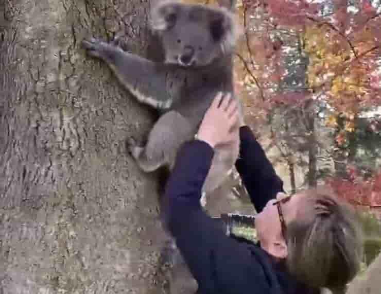 Ricongiungimento mamma koala con il suo piccolo (Screen video Facebook)