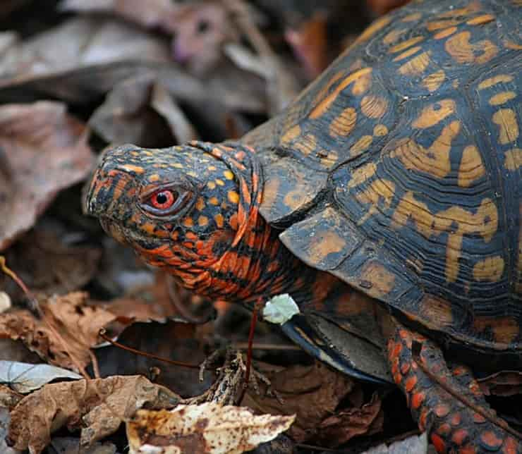 Tartaruga scatola (Pixabay)