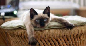 alimentazione gatto thai