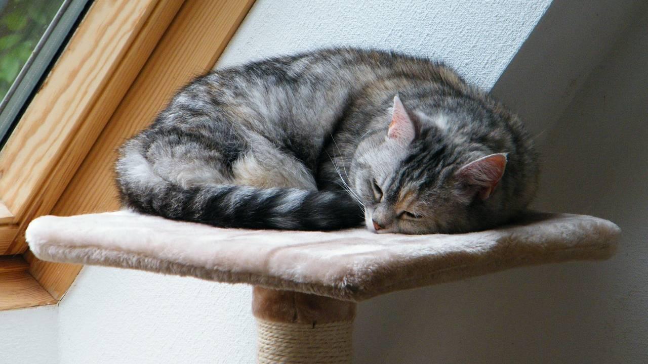 anaplasmosi gatto